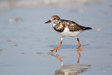 Ruddy Turnstone Wading On A Be...