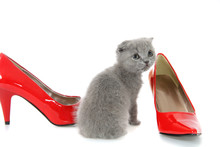 British Gray Kitten With Red Shoes