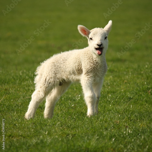 Photo bleating lamb