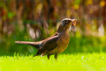 Thrush With Earthworms