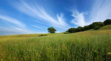 Green Summer Field And Lone Tree