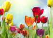 Leinwandbild Motiv Spring Beauties, colorful tulips