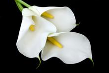 Three White Calla Lilies On A ...