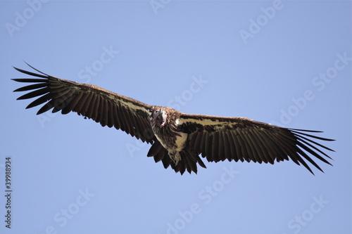 In de dag Eagle Big bird in flight
