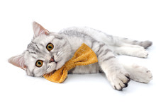Silver Tabby Scottish Cat With...