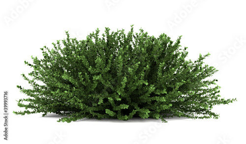 Leinwand Poster coral beauty bush isolated on white background