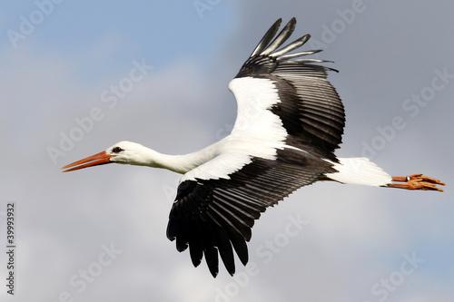 Fotografia stork