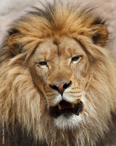 Foto op Plexiglas Leeuw lion portrait