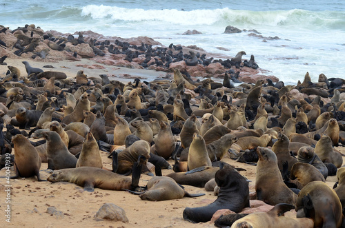 Fotografering  seals cololny Cape Cross Namibia
