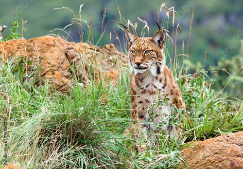 Photo Stands Lynx Lince iberico