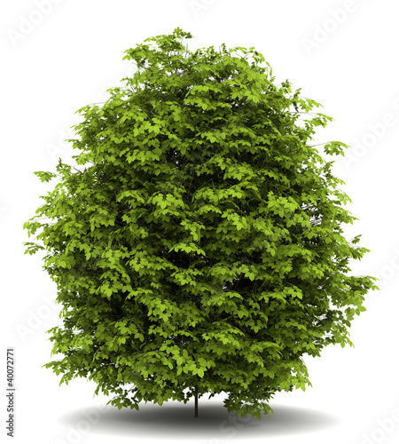 Leinwand Poster euonymus verrucosa bush isolated on white background