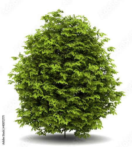 Foto euonymus verrucosa bush isolated on white background