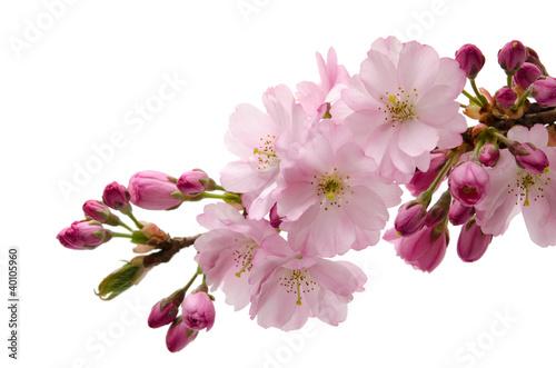 Photo sur Toile Fleur de cerisier Japanische Zierkirsche
