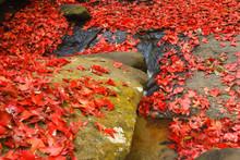 Beautiful Maple Leaves Of Phu ...