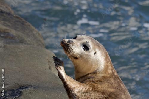 Fototapeta premium Seal Puppy in La Jolla