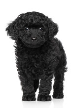 Toy Poodle Puppy Over White Background
