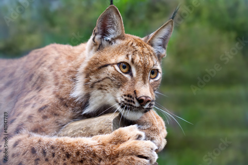Poster Lynx lynx against wildness area