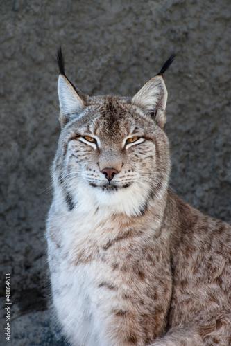Lynx #40164513