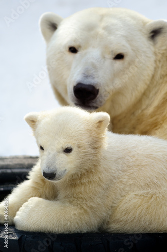 Poster Ijsbeer Polar bear cub with his mom