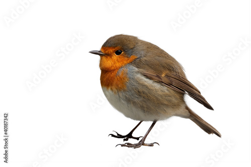Photo  European Robin isolated on white background