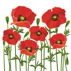 Panel Szklany Podświetlane Maki Flowers poppies isolated on white background