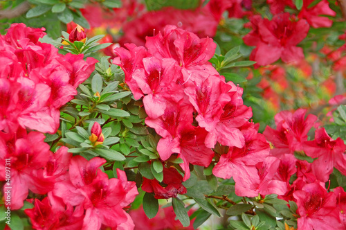 Poster Azalea Red azalea blossom in winter botanical garden