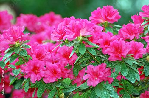 Papiers peints Azalea Pink azalea blossom in winter botanical garden