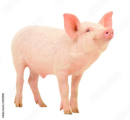Fotografía Pig on white
