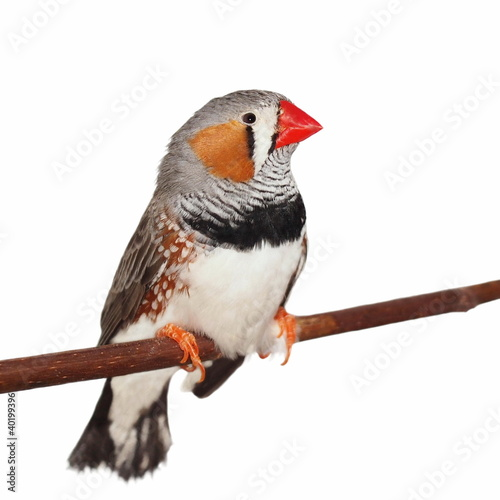 Tableau sur Toile Zebra Finch, isolated on white