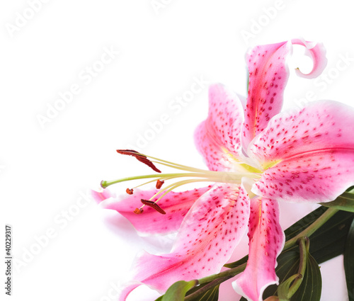 Slika na platnu Lily white background