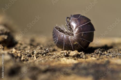 pill bug Tapéta, Fotótapéta