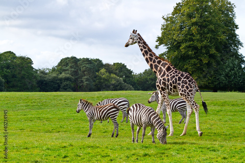 In de dag Zebra Zebras and giraffe in the wildlife park