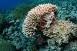 canvas print picture Amazing Scorpion fish hiding in a big Coral