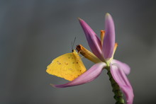 Yellow Butterfly (Phoebis Phil...