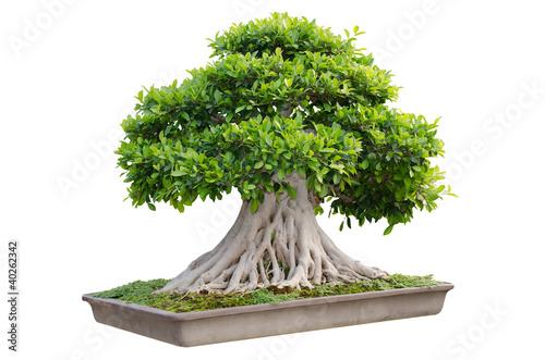 Aluminium Prints Bonsai Bonsai tree in a pot isolated on white background