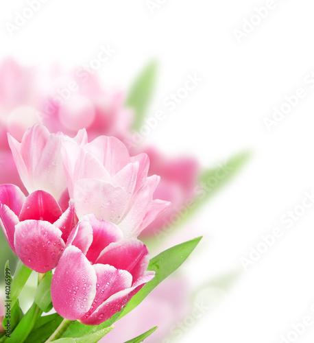 Naklejki tulipany tulipany-na-bialym-tle