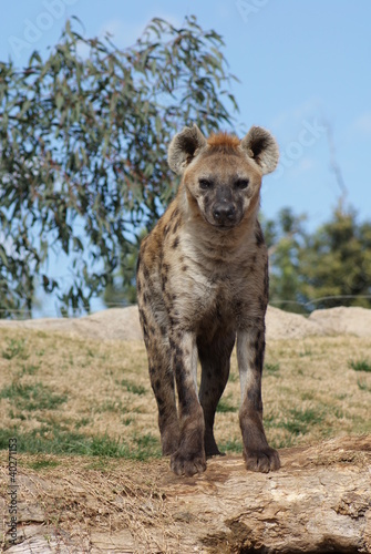 In de dag Hyena Spotted (laughing) Hyena - Crocuta crocuta