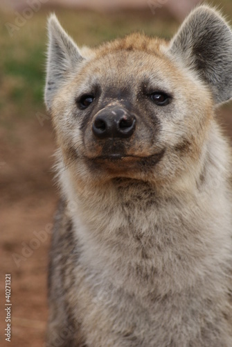 In de dag Hyena Spotted (laughing) Hyena - Crocuta crocuta