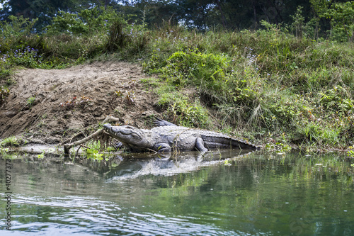 Photo  Crocodile in Royal Chitwan National Park in Nepal