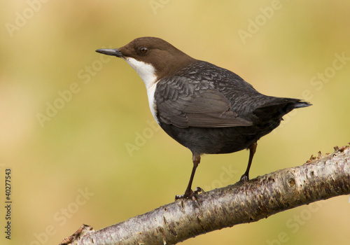 Dipper on a branch Canvas Print