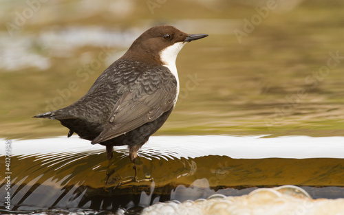 Canvas Print Dipper in the water
