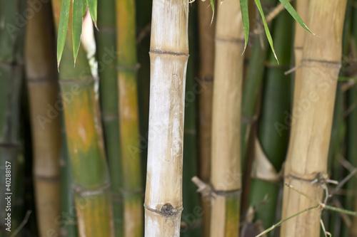 lodygi-bambusa