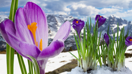 FototapetaSpringtime in mountains - crocus flowers in snow