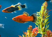 Platy Dans Aquarium