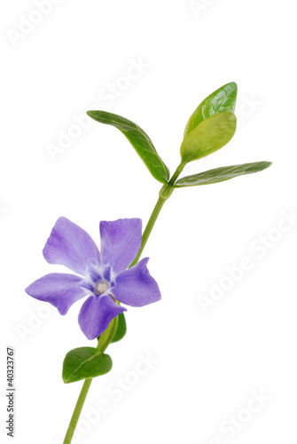 Photo Isolated periwinkle flower