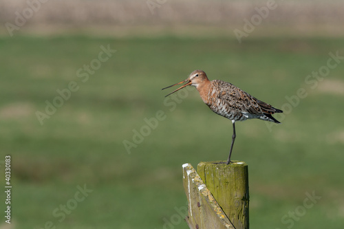 Poster Nature A Black tailed godwit on a pole