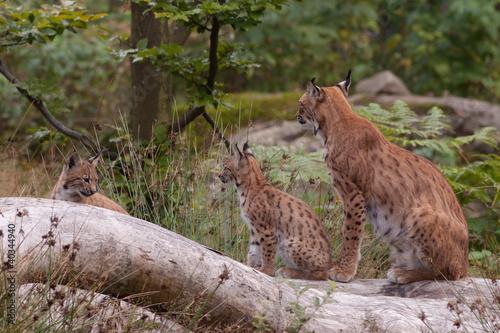 Fotobehang Lynx Eurasian lynx (Lynx lynx) with cubs