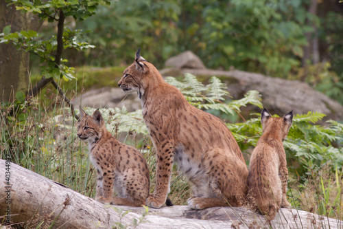 Spoed Foto op Canvas Lynx Eurasian lynx (Lynx lynx) with cubs