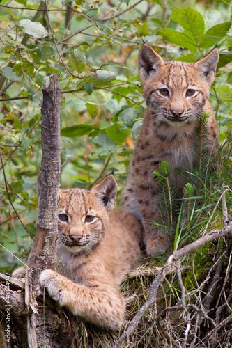Papiers peints Lynx Two lynx cubs