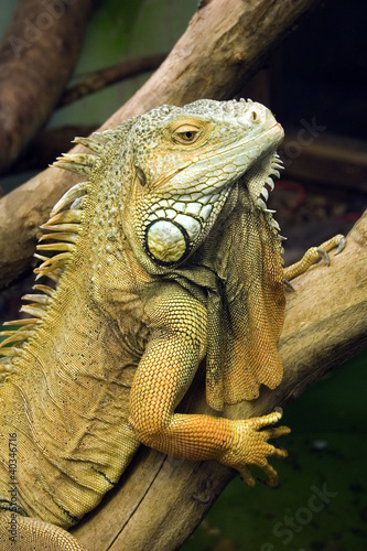 Poster Chamaleon Portrait of an iguana